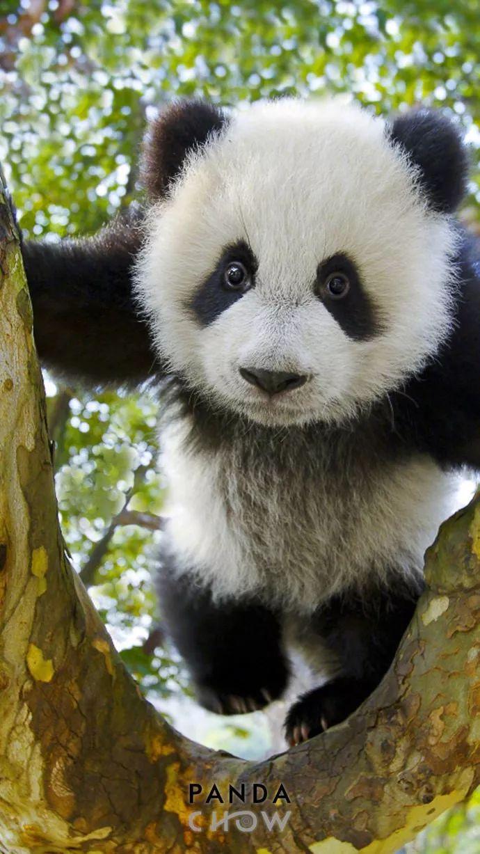 寻找满月_他拍下2000张野生大熊猫萌照,全世界都为之震撼!_直播江门